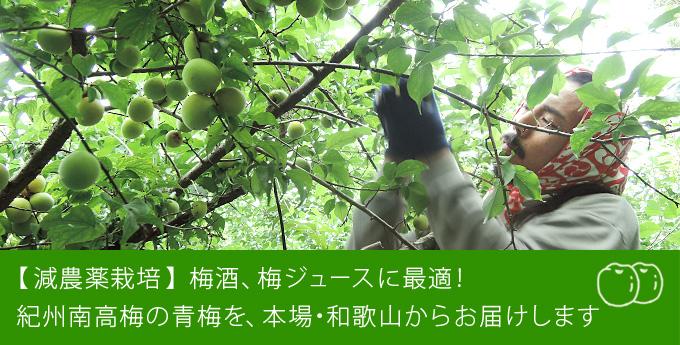 減農薬栽培 梅酒 梅ジュースに 紀州南高梅の青梅を本場・和歌山からお届け