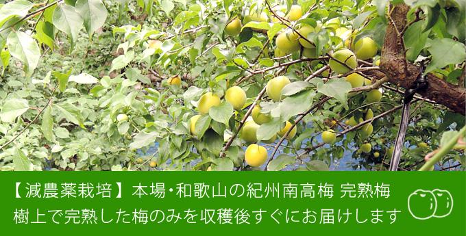 減農薬栽培 本場・和歌山の紀州南高梅 樹上で完熟した梅のみを収穫後すぐにお届け