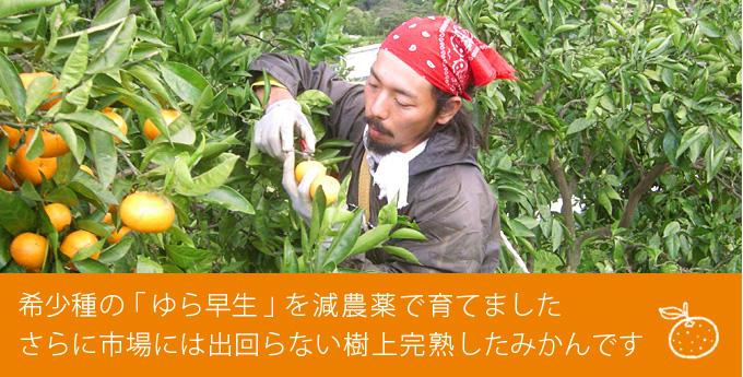 希少種の「ゆら早生」を減農薬で育てました さらに市場には出回らない樹上完熟したみかんです
