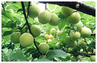 減農薬 紀州南高梅 青梅
