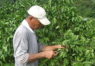 みかん栽培の一年